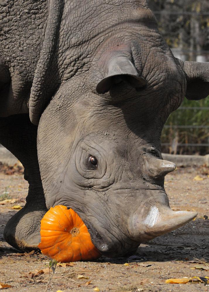 Jimma, a 27-year-old male rhino at Brookfield Zoo, seemed to enjoy a Halloween treat--a pumpkin.
