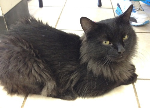 Fleetwood is a male 2-year-old domestic longhair who loves a good cuddle. Visit Fleetwood at Felines and Canines at 1962. W.