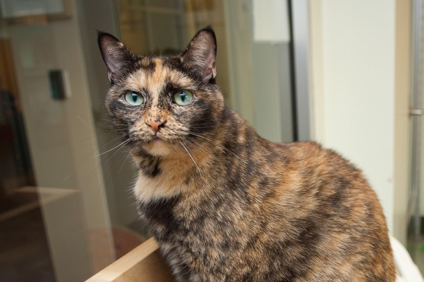 Confetti is a female 9-year-old tortoiseshell with a lot of spunk. Visit Confetti at PAWS Chicago, 1997 N. Clybourn Avenue, C