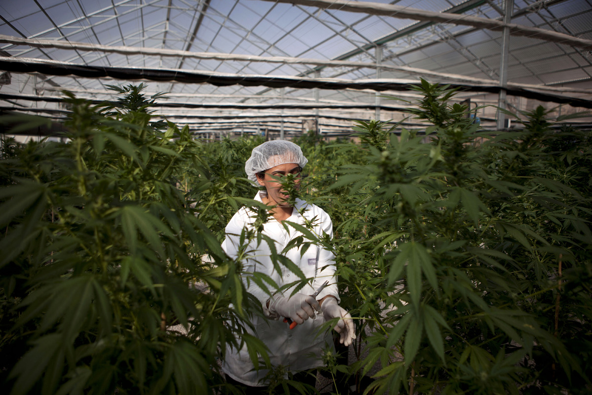 In this photograph made on Thursday, Nov. 1, 2012, an Israeli woman works at Tikkun Olam medical cannabis farm, near the nort