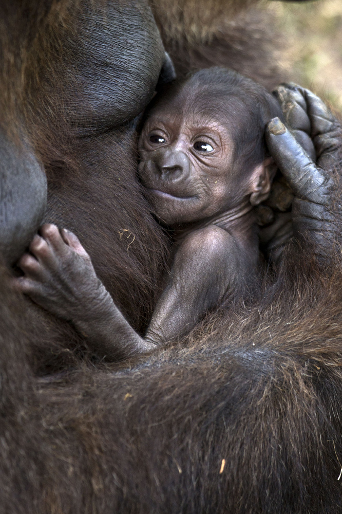 Lia, a 35-year-old gorilla, holds her newborn baby at the Ramat Gan Safari, an open-air zoo near Tel Aviv, on November 14, 20
