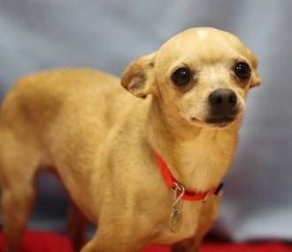 Marco is a male 2-year-old Chihuahua mix. Visit Marco at the Naperville Area Humane Society at 1620 W. Diehl Road in Napervil