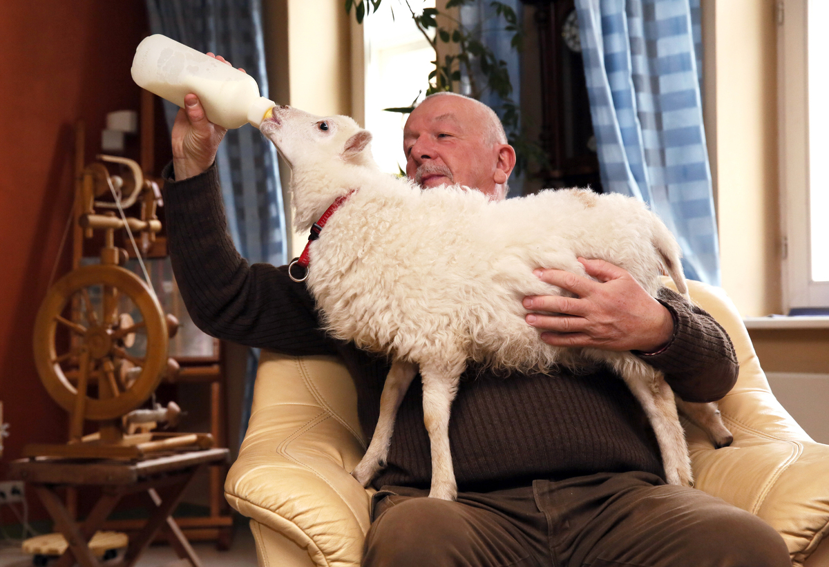Germany hobby shepherd Wolfgang Grensens bottle feeds his lamb in Luebeck, northern Germany, on November 12, 2012. The shephe