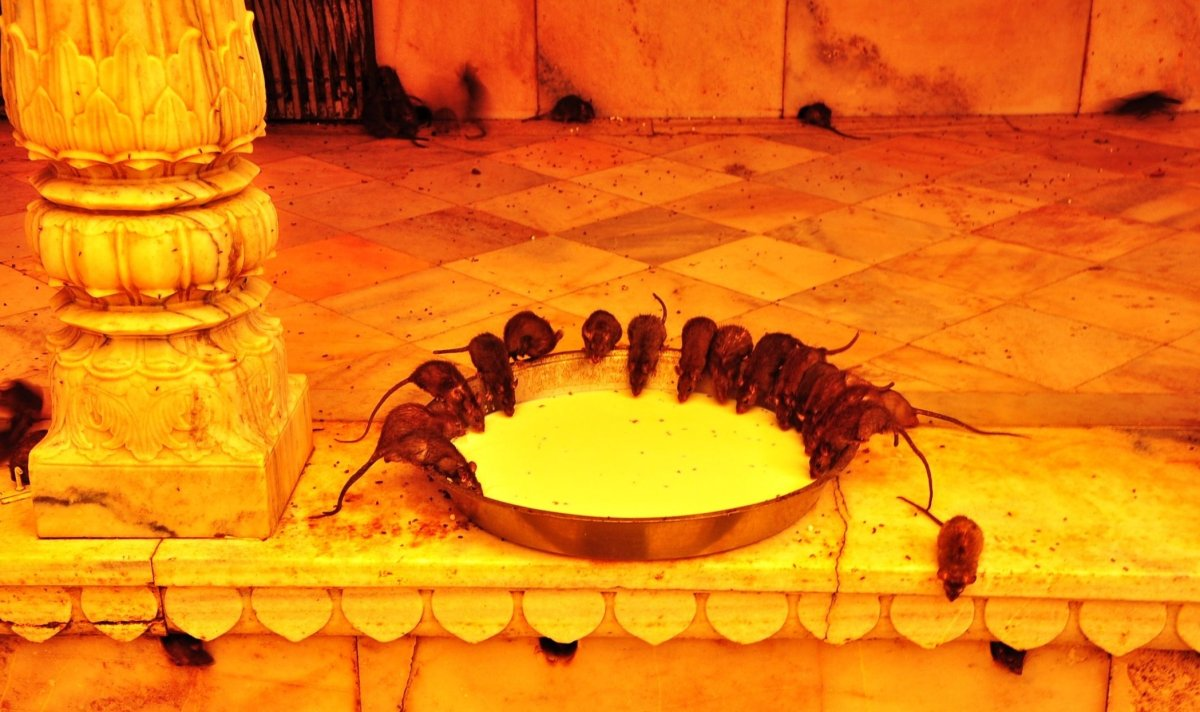 The Karni Mata Temple attracts pilgrims and tourists to the village of Deshnok, 30 minutes by road from Bikaner. The temple i