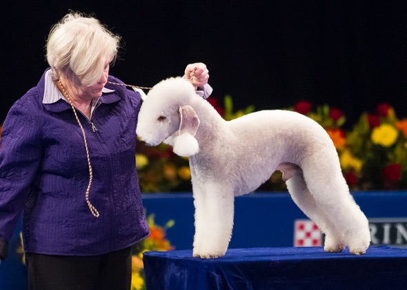 "Beneath his gentle, lamblike appearance, the <a href=""http://www.vetstreet.com/dogs/bedlington-terrier"">Bedlington Terrier</a"