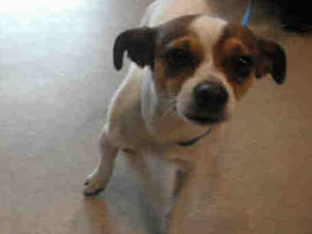 Somax is a neutered tricolor Chihuahua mix who shelter staff say walks well on, and quite enjoys, the leash.  <strong><em>Cal