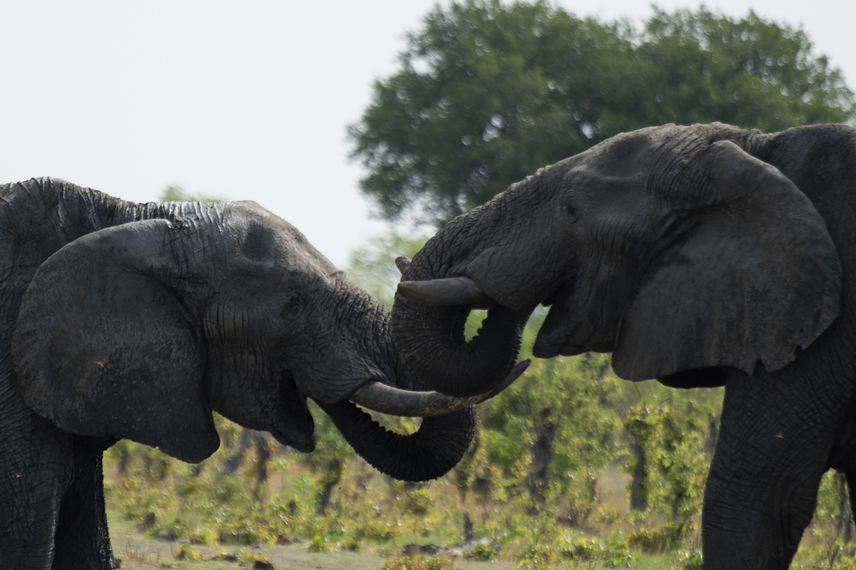 African elephants are pictured on November 18, 2012 in Hwange National Park in Zimbabwe. MARTIN BUREAU/AFP/Getty Images