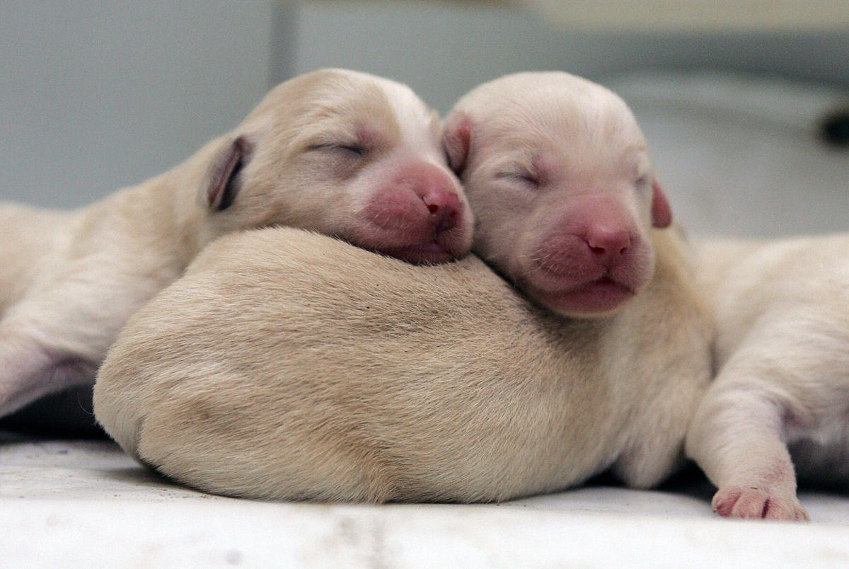Three-day-old Labradoodle puppies snuggle together in their kennel.  (Photo credit YOAV LEMMER/AFP/Getty Images)