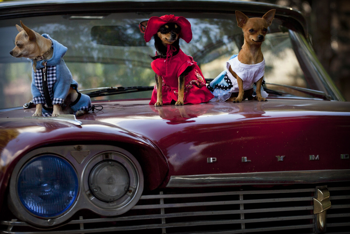 In this Nov. 25, 2012 photo, chihuahua dogs in costume, from left, Petite, Legrand and Lentille, sit on the hood of a classic