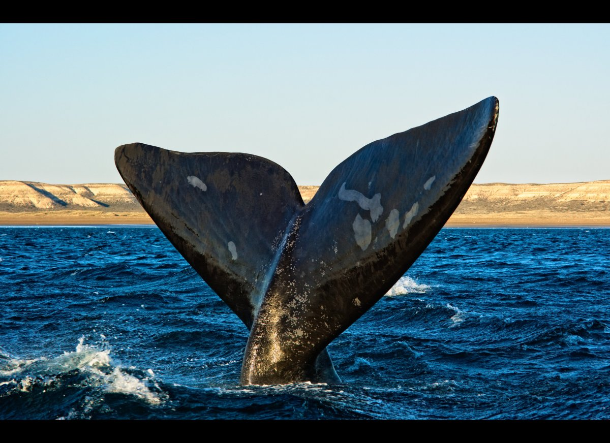 Take an exhilarating boat trip, exclusively chartered for your family, to watch the magnificent Southern right whales dive of
