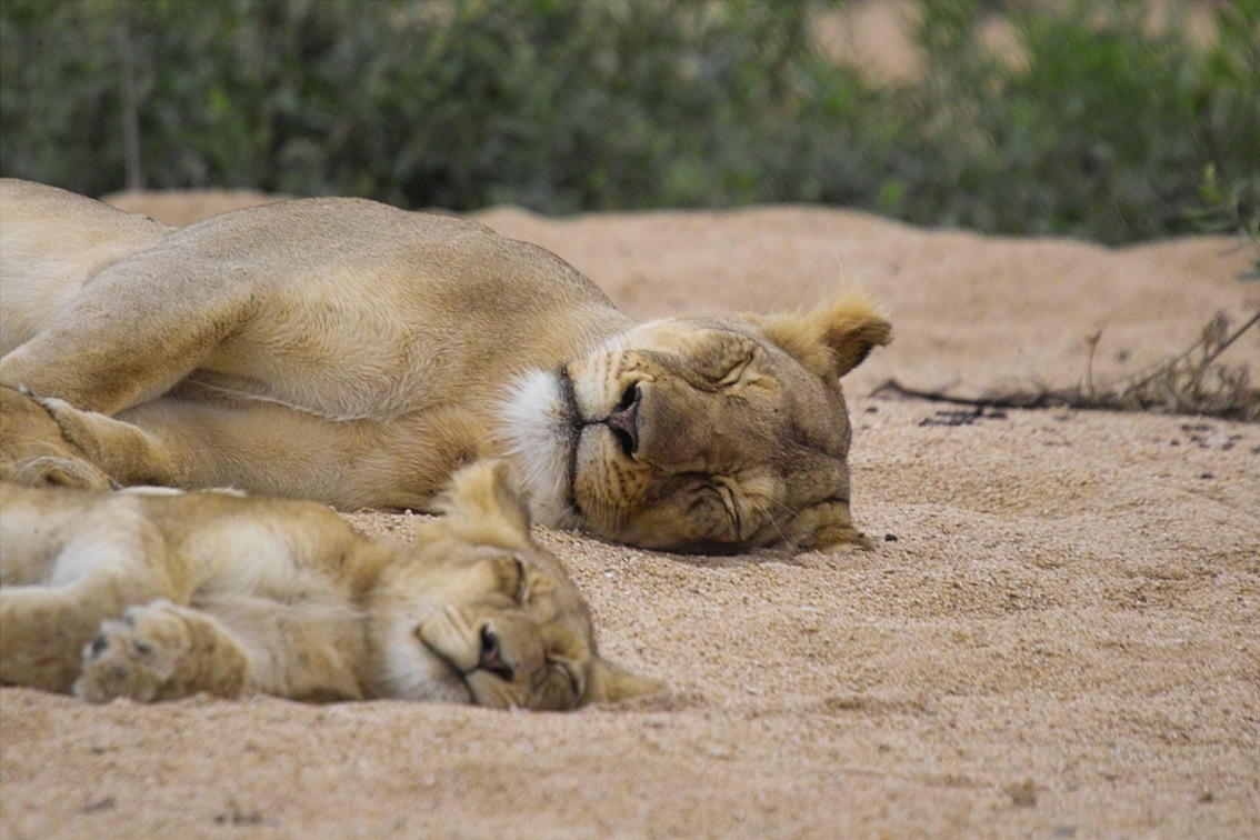 "They take naps together.  (<a href=""http://www.flickr.com/photos/arnolouise/2177900097/"">Image via Flickr</a>)"