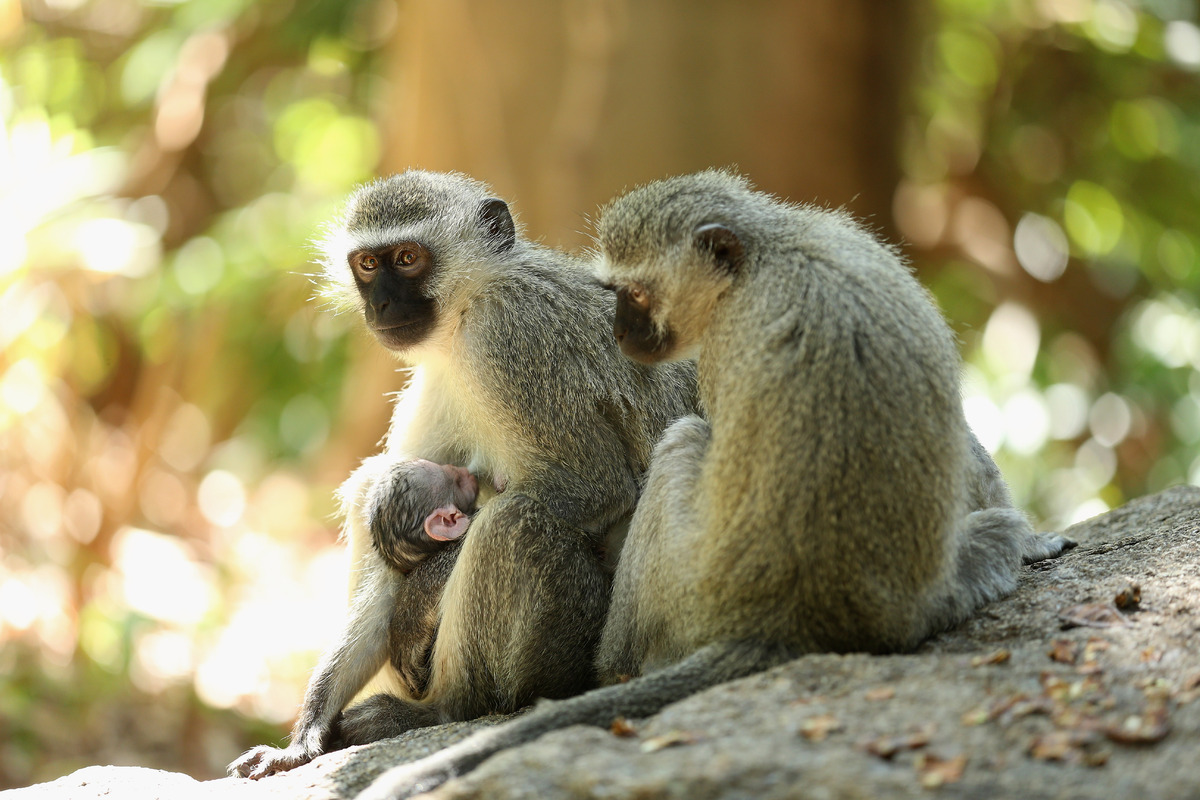 SUN CITY, SOUTH AFRICA - NOVEMBER 29:  Monkeys look on during the first round of the Nedbank Golf Challenge at the Gary Playe