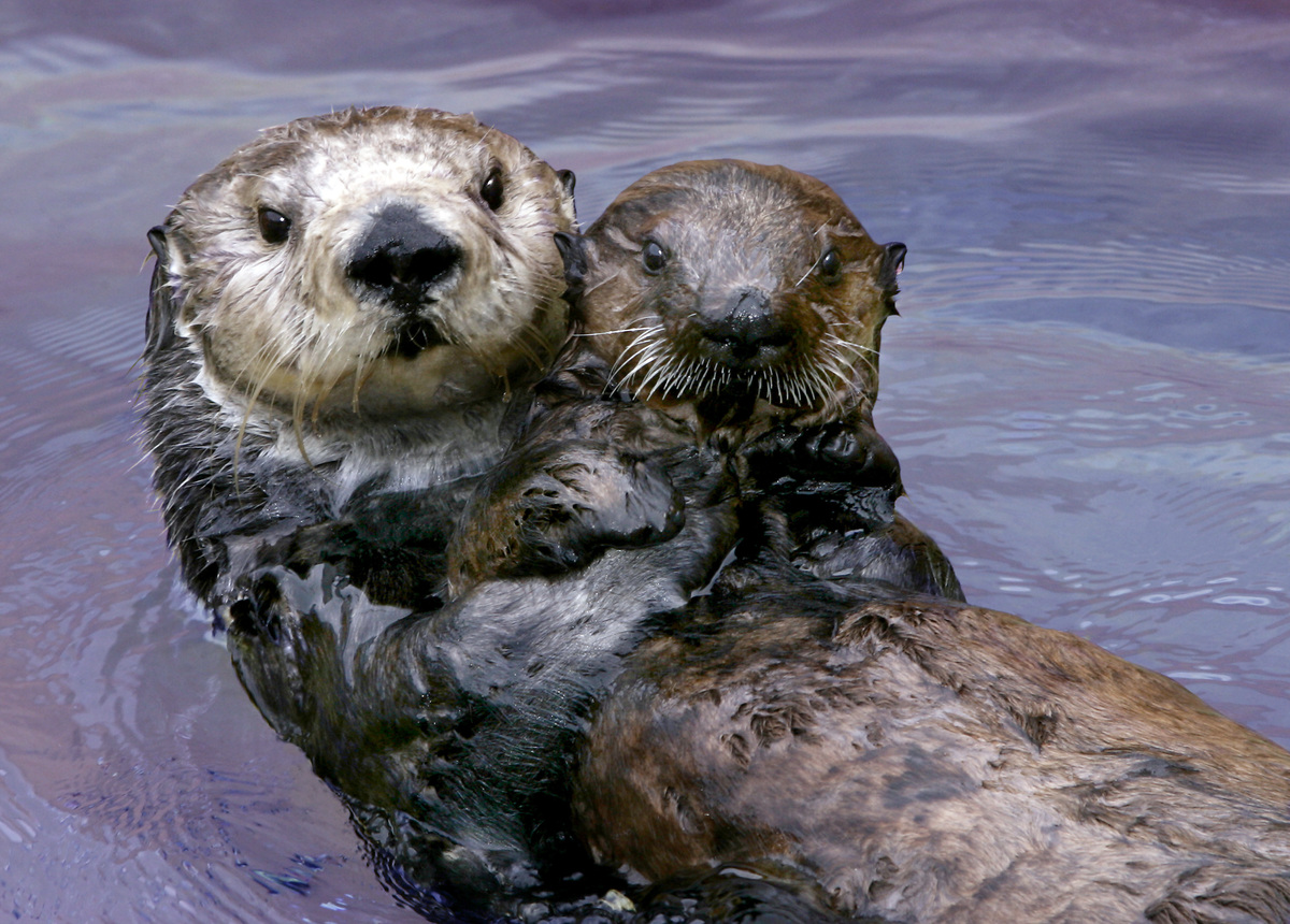 This undated image provided by the Monterey Bay Aquarium Foundation shows Toola, a sea otter who died at the aquarium, Saturd
