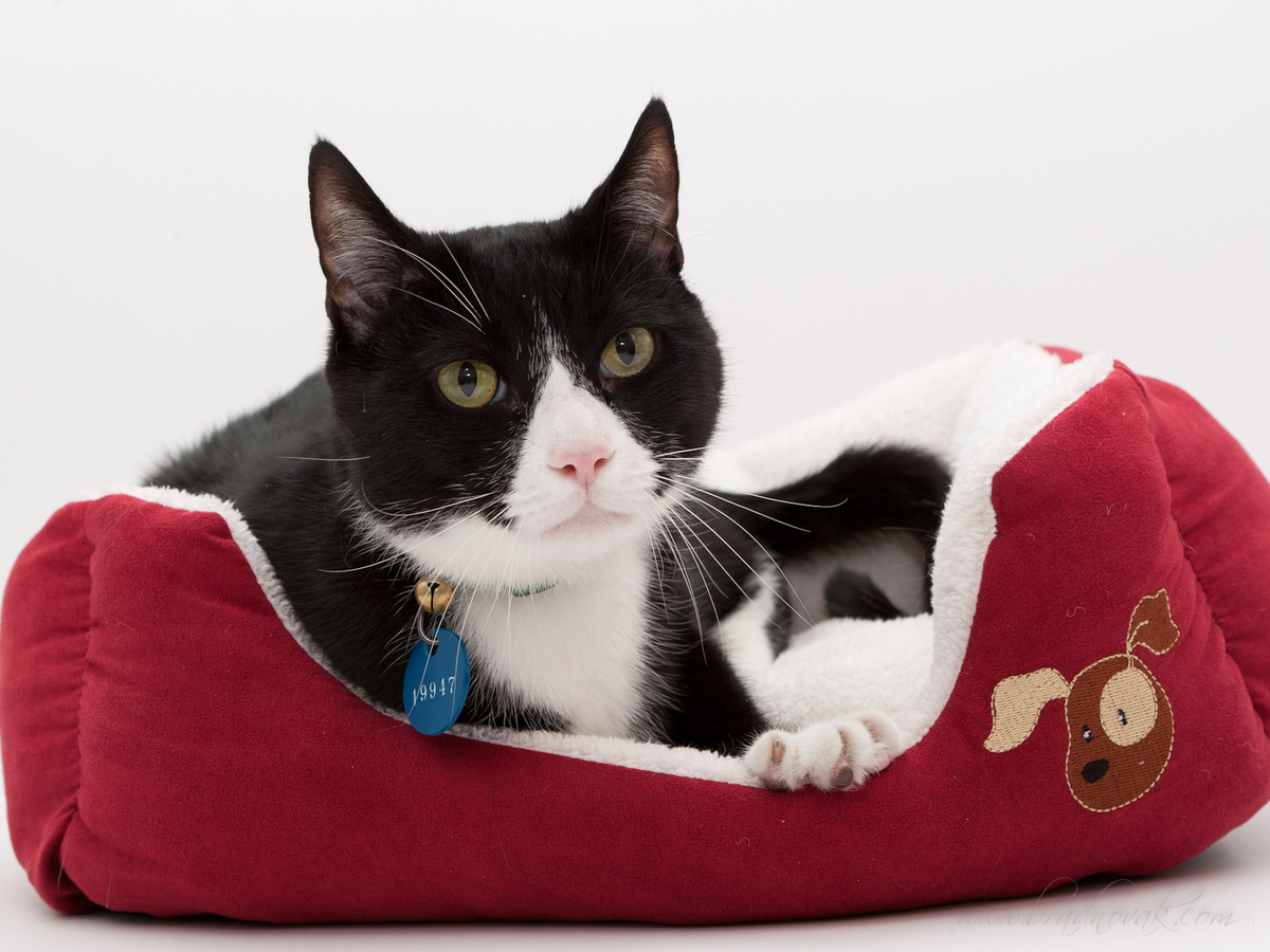 What a handsome, loving boy Curtis is. He's a seven-year old neutered male. Curtis was surrendered to the Animal Welfare Leag