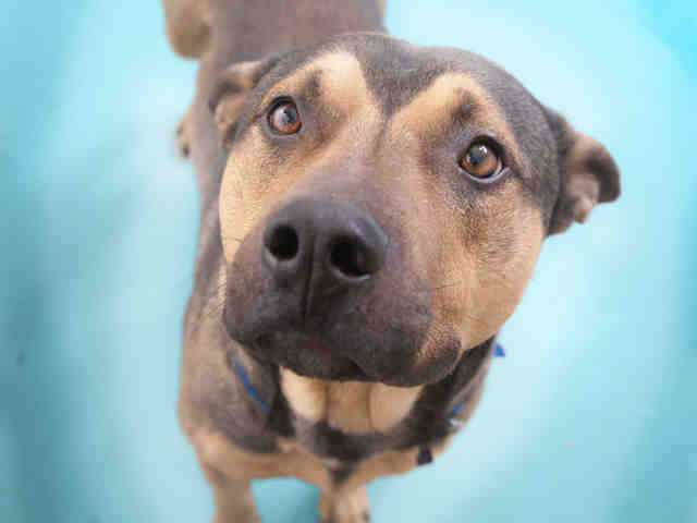 Tulo is a neutered tan and black German shepherd and boxer mix. The shelter estimates he is just over 1 year old.  <em><stron