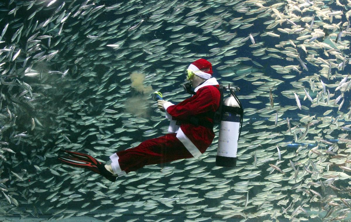 Dressed in a Santa Claus outfit, a diver feeds sardines at the Coex Aquarium in Seoul, South Korea, Tuesday, Dec. 11, 2012. (