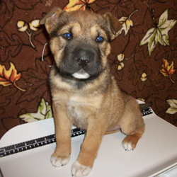 A female shar pei mix, 8  weeks old.