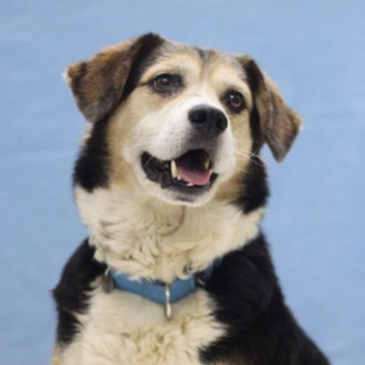 Everton is a male 6-year-old Beagle mix. Visit Everton at the Naperville Area Humane Society at 1620 W. Diehl Road in Napervi