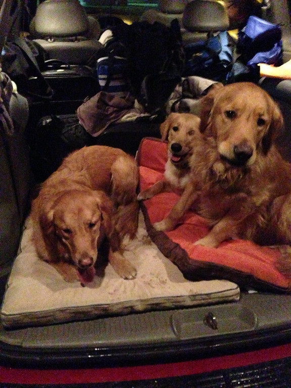 K-9 Comfort dogs Chewie (left), Ruthie (back) and Luther (right).