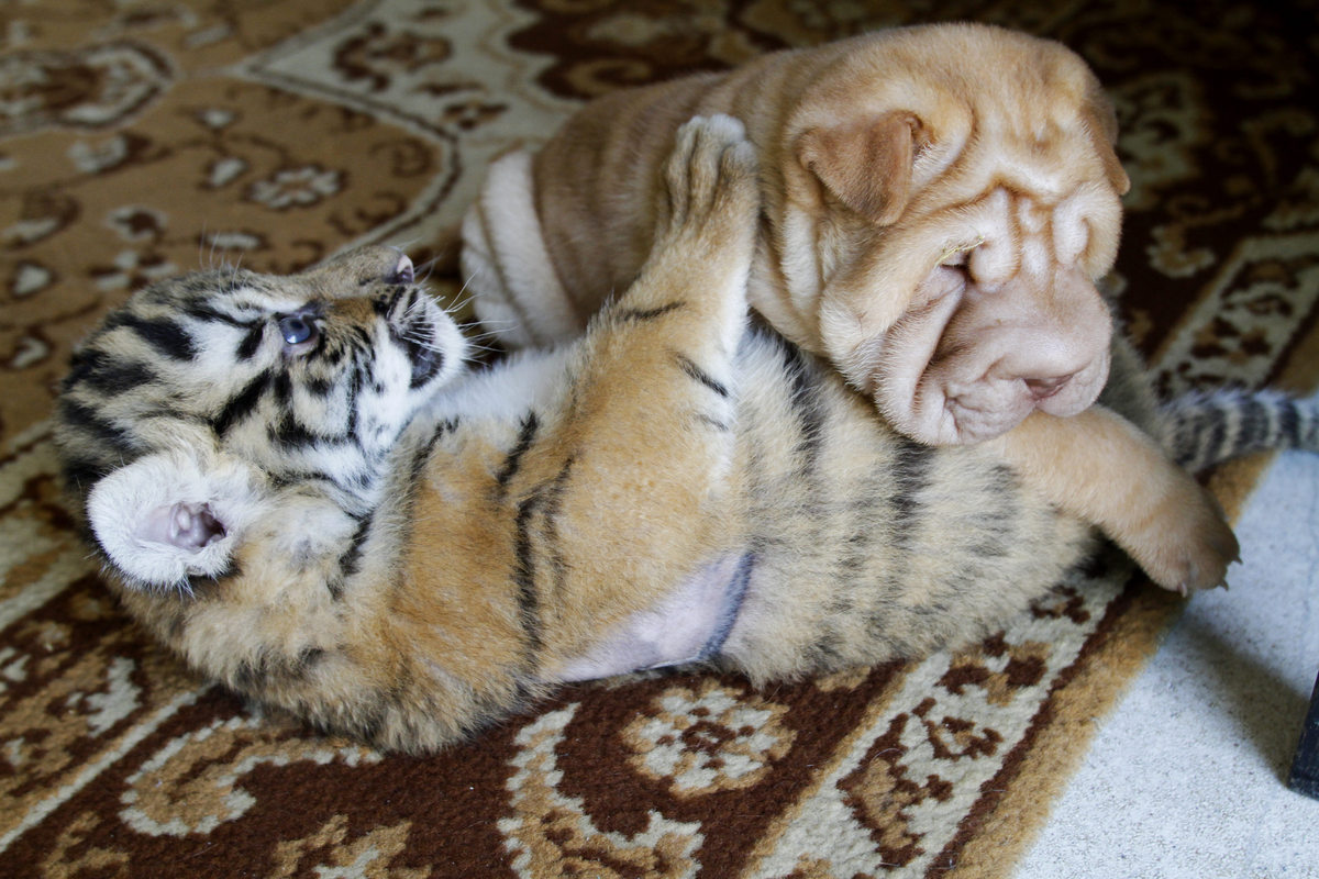 In this photo taken on Friday, June 29, 2012, Siberian tiger cub Plyusha and Shar Pei puppy Fighter play in the house of Yeka