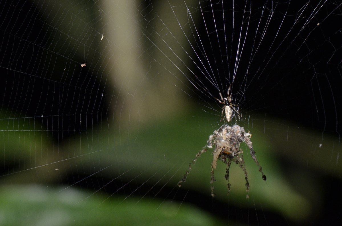 "A decoy spider. Credit: <a href=""http://philtorres.net/Phil_Torres/Welcome.html"">Phil Torres</a>"