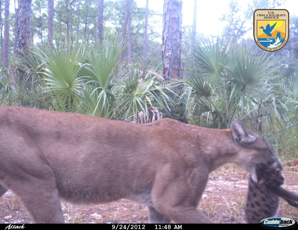 Cameras installed in the Florida Panther National Wildlife Refuge captured an uncollared female panther moving three kittens