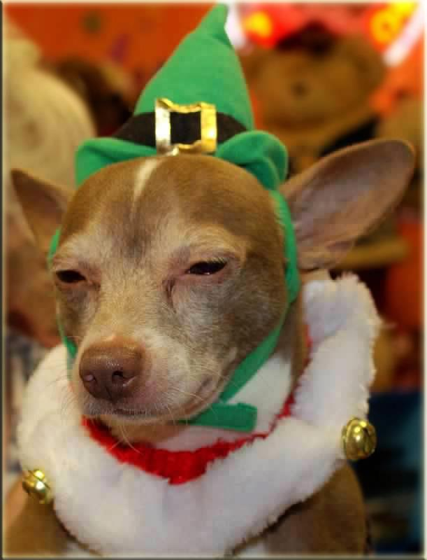 Timothy Green is a male 5-year-old Chihuahua. Visit Timothy Green at Famous Fido Rescue at 5430 N. Clark Street in Chicago. <