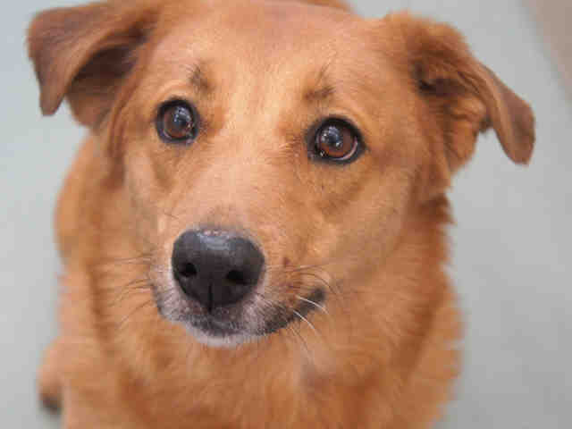 """Suzie is a tan Australian shepherd mix. Shelter staff describe her as a """"loving,"""" """"sweet dog."""" Her previous owner says that S"""