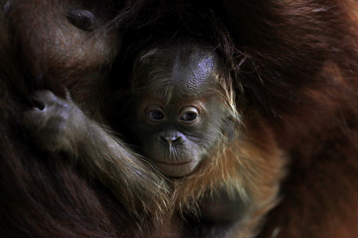 Three week-old orangutan baby Sayang clings to its mother Rosa at the zoo in Frankfurt, central Germany, Thursday, Dec. 20, 2