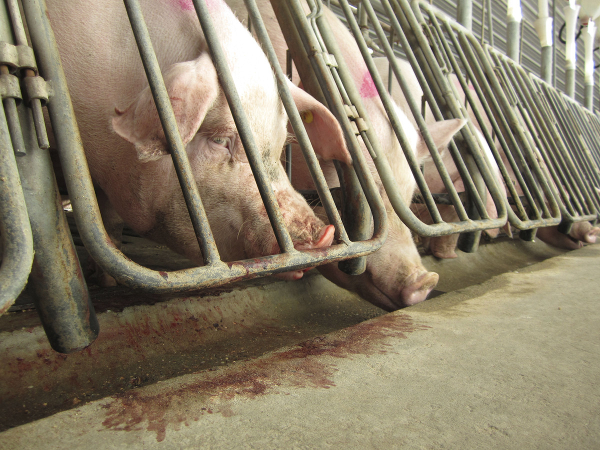 A slew of companies this year announced timetables to stop buying meat from producers that use gestation crates, including bi