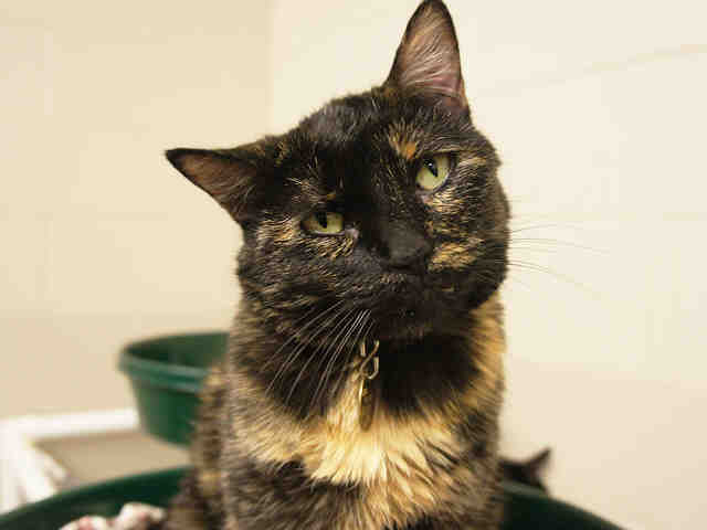 Bella Rose is described as somewhat shy at first but that she loves to pet and loves a good dangling toy. She is a spayed tor