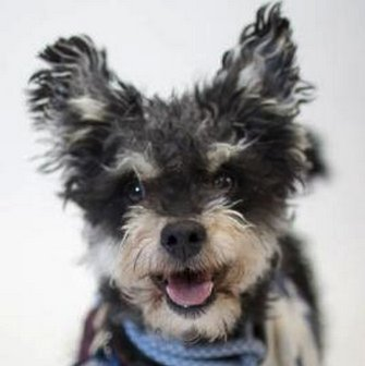 "Rodney is described as a ""cute and lively terrier-schnauzer mix. He was a stray who was brought to MaxFund. He's great around"