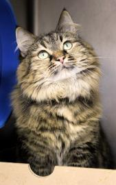 Lily is a female 5-year-old domestic mediumhair mix. Visit Lily at Anti-Cruelty Society, 157 W. Grand Ave. Call (312) 644-833