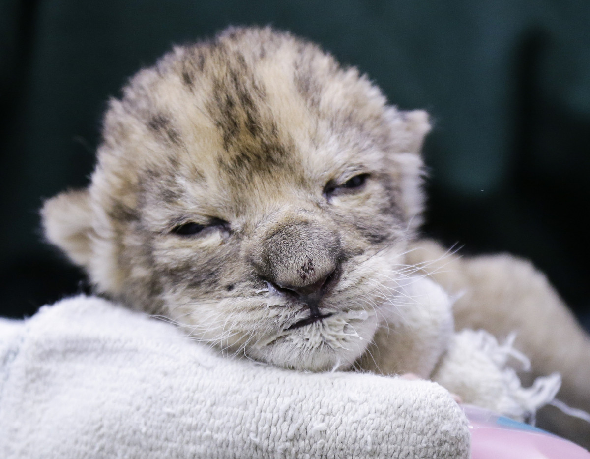 A drowsy looking female lion cub sports a milk mustache after being bottle fed at the Henry Doorly Zoo in Omaha, Neb., Friday