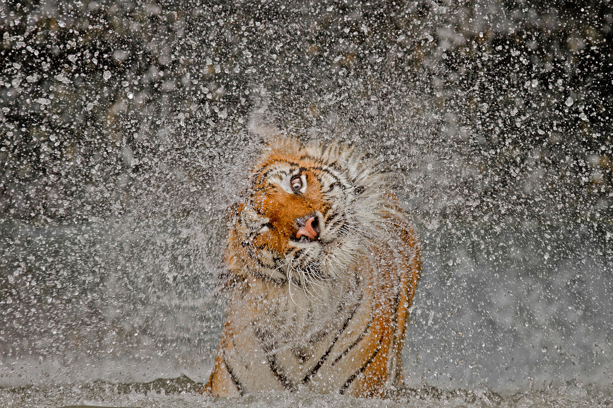"""""""The subject's name is Busaba, a well cared for Indochinese Tigress whose home is at Khao Kheow Open Zoo, Thailand. I had tak"""