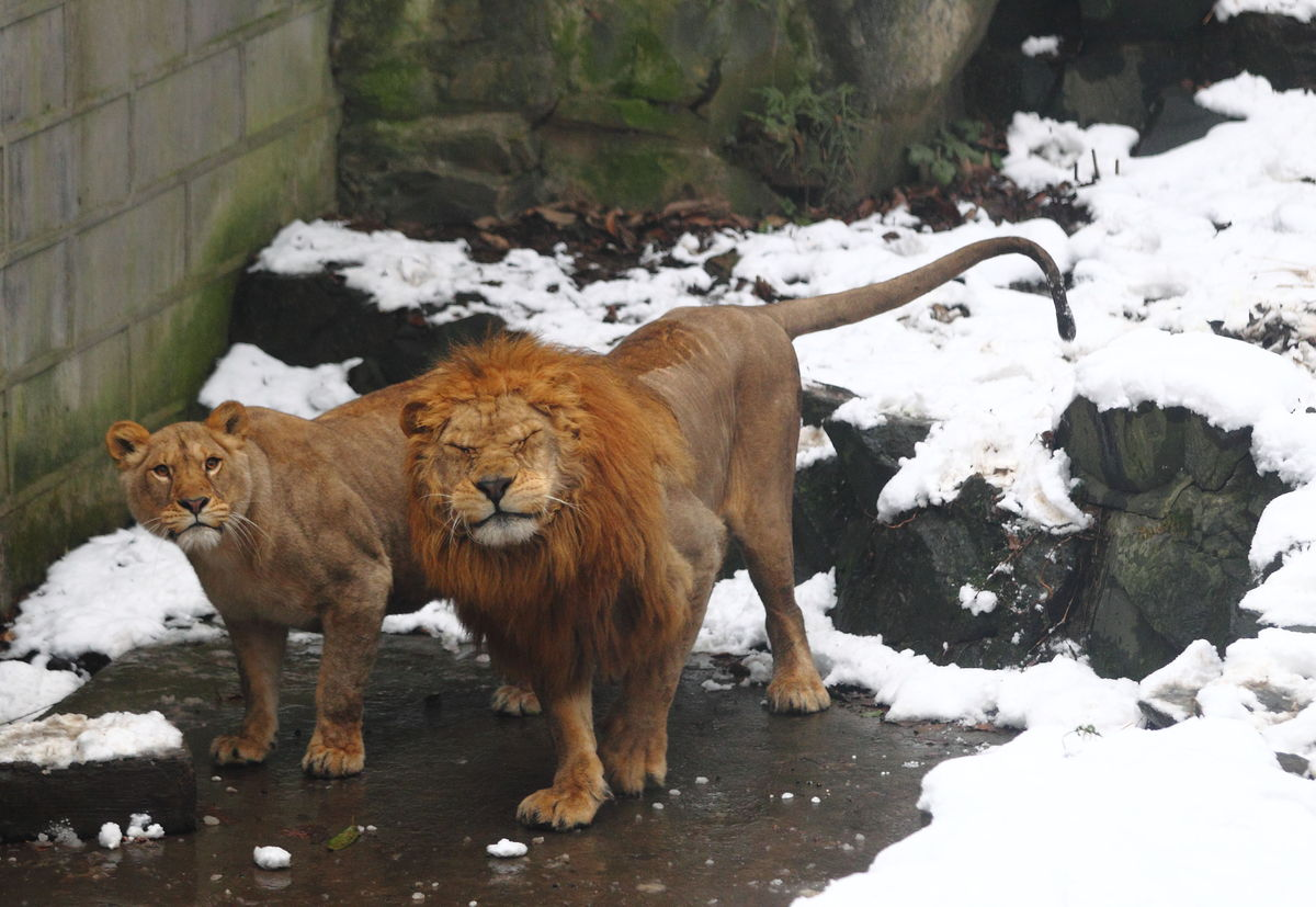 A lion couple is about to be hit by a snowball thrown by a visitor at Hangzhou Zoo in Hangzhou city, east Chinas Zhejiang pro