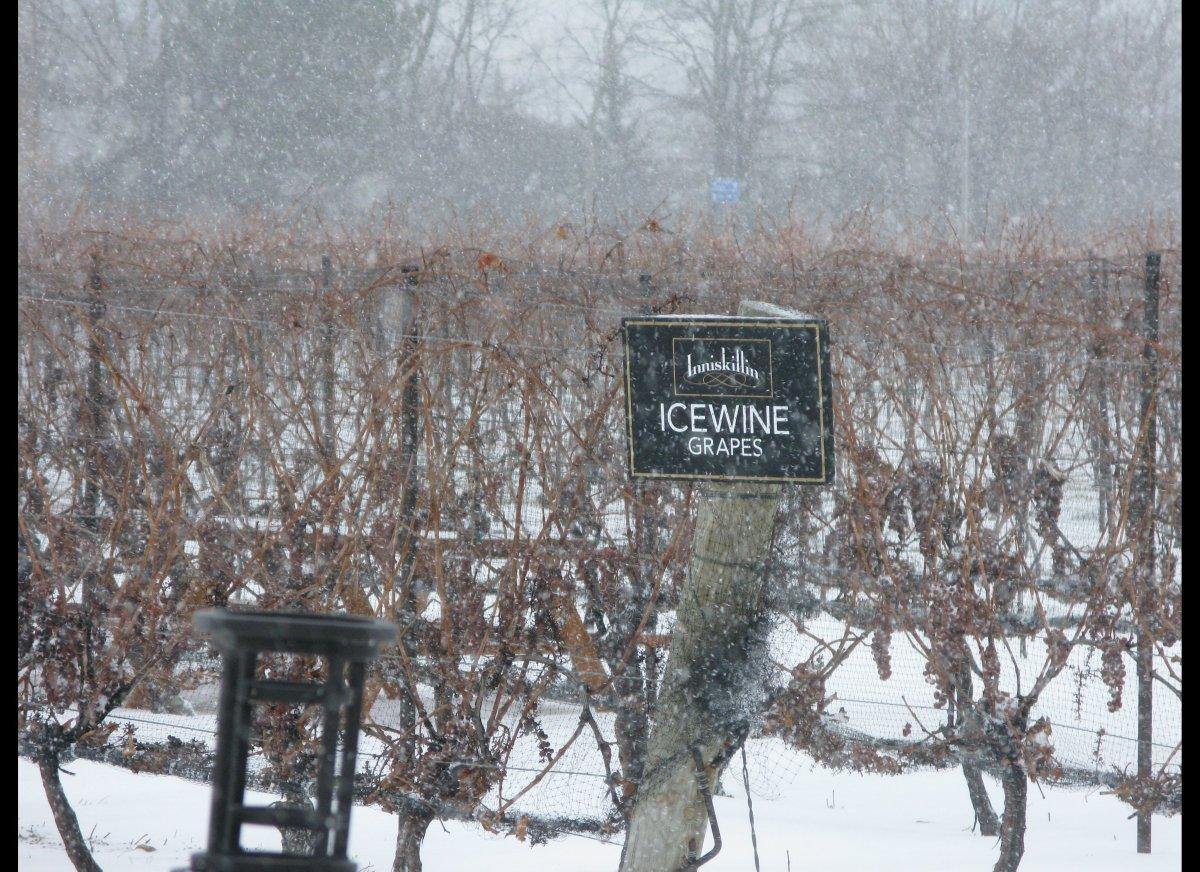 Icewine grapes on the vine at Inniskillin.