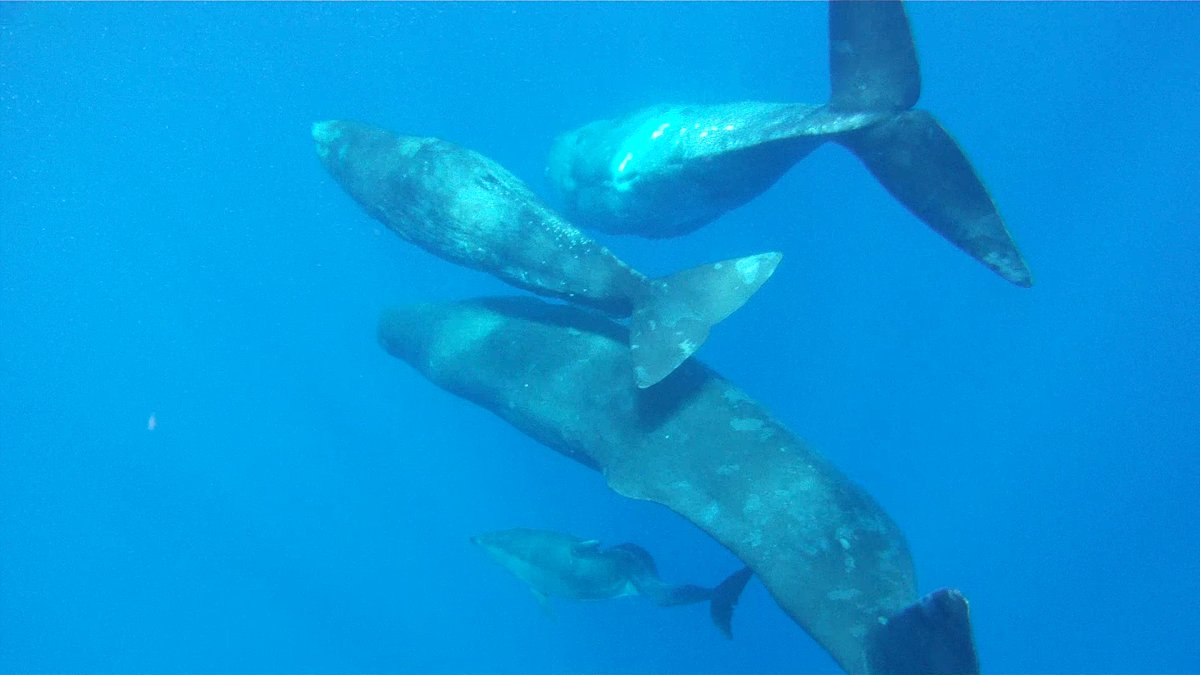 Traveling. An unusual, mixed-species group consisting of sperm whales and a single bottlenose dolphin with a spinal malformat