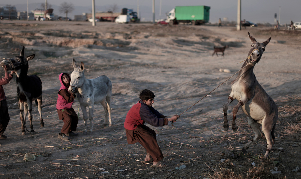 A Pakistani boy, holds on into his donkey after losing control, while he and others walk in a field toward the main road on t