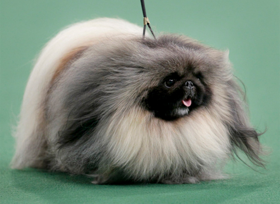 Malachy, a Pekingese, took the title of Best in Show at the 2012 Westminster Kennel Club Dog Show.