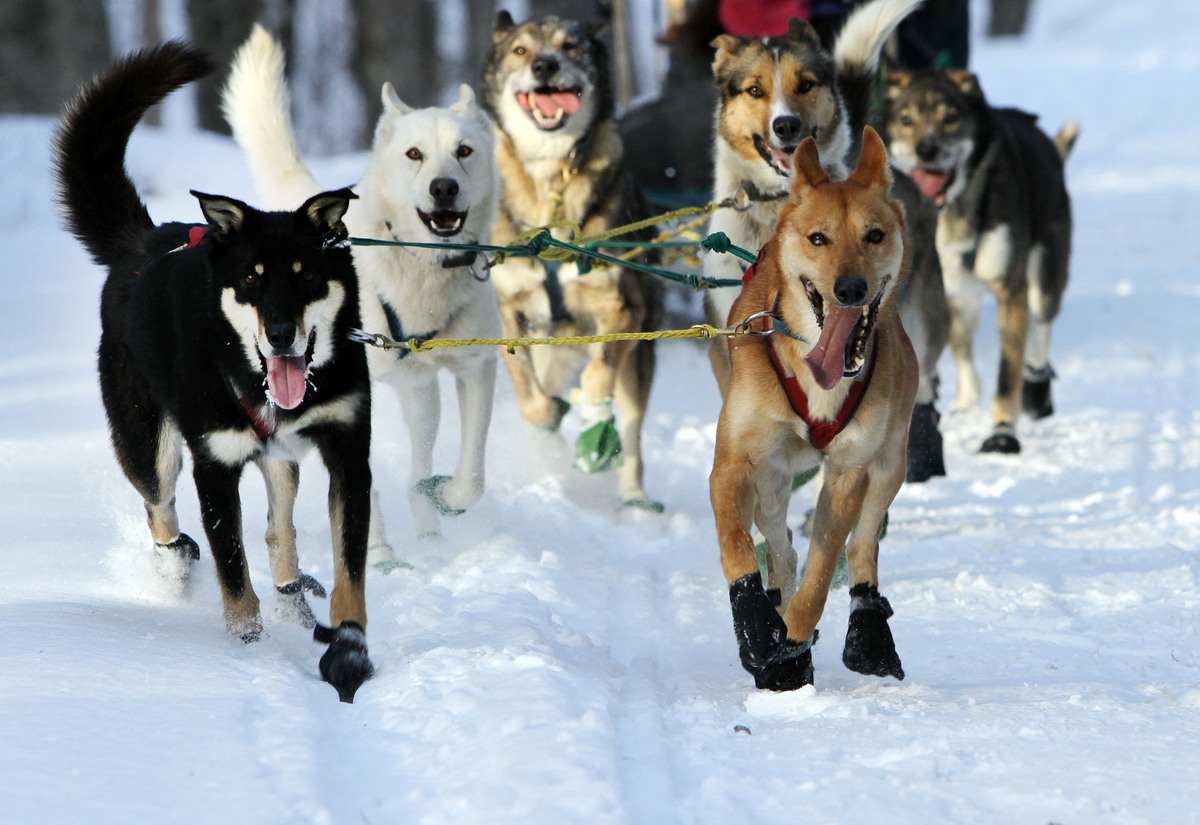 "A group of sled dogs from the Muddy Paw Sled Dog Kennel runs a trail in Jefferson, N.H. The kennel takes in rescues and ""seco"