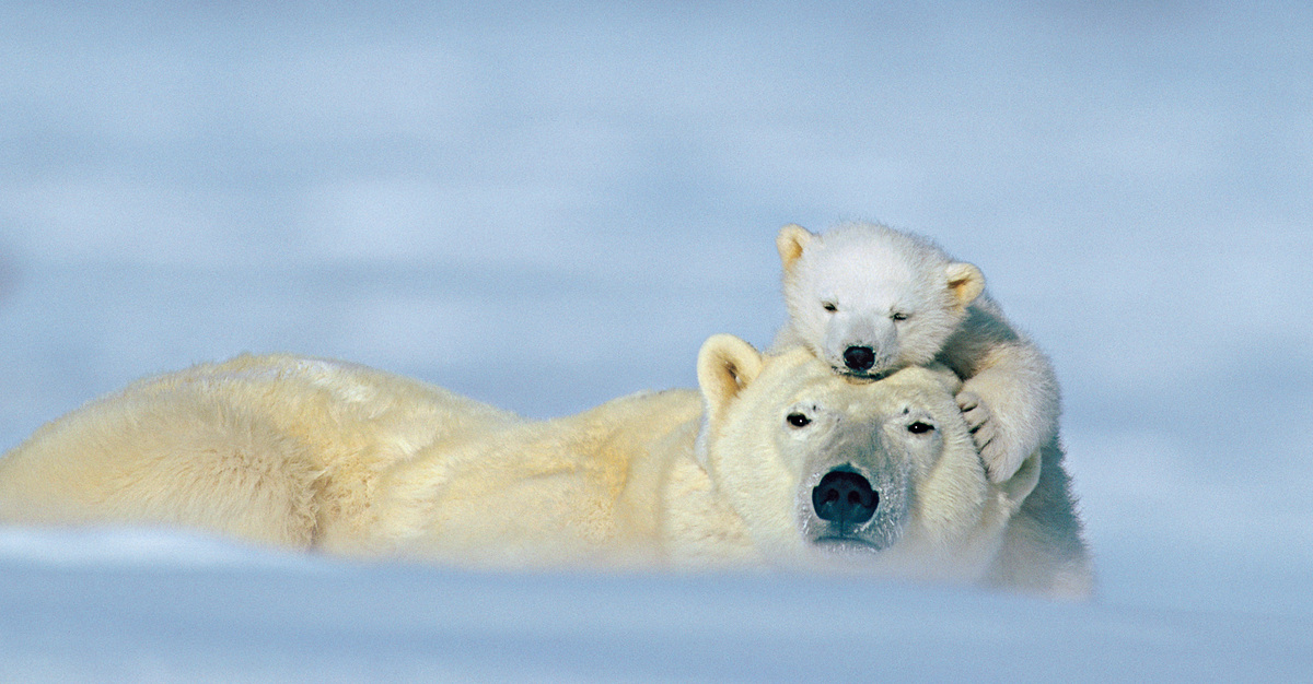 Polar bear moms may nurse their cubs for as long as three years.