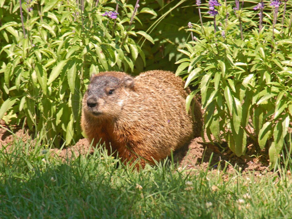 groundhog facts interesting trivia about the woodchuck whistle