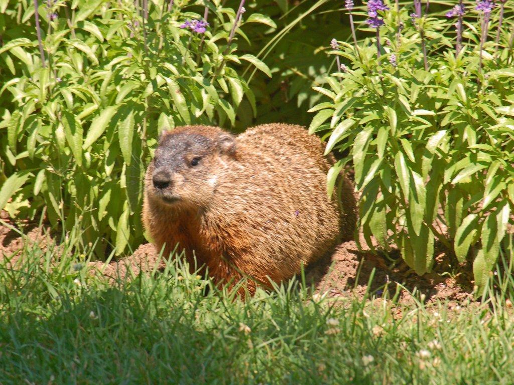 Woodchuck vs beaver