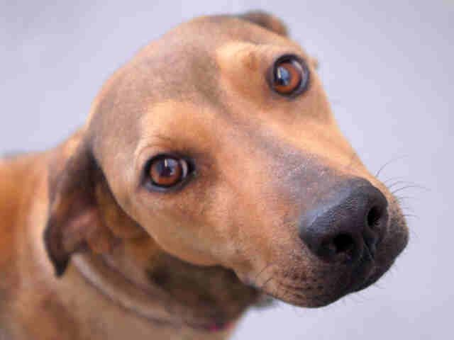 """Noel is a 1-year-old tan and black Chinese sharpei and whippet mix. What's a whippet, you ask? The <a href=""""http://www.akc.or"""