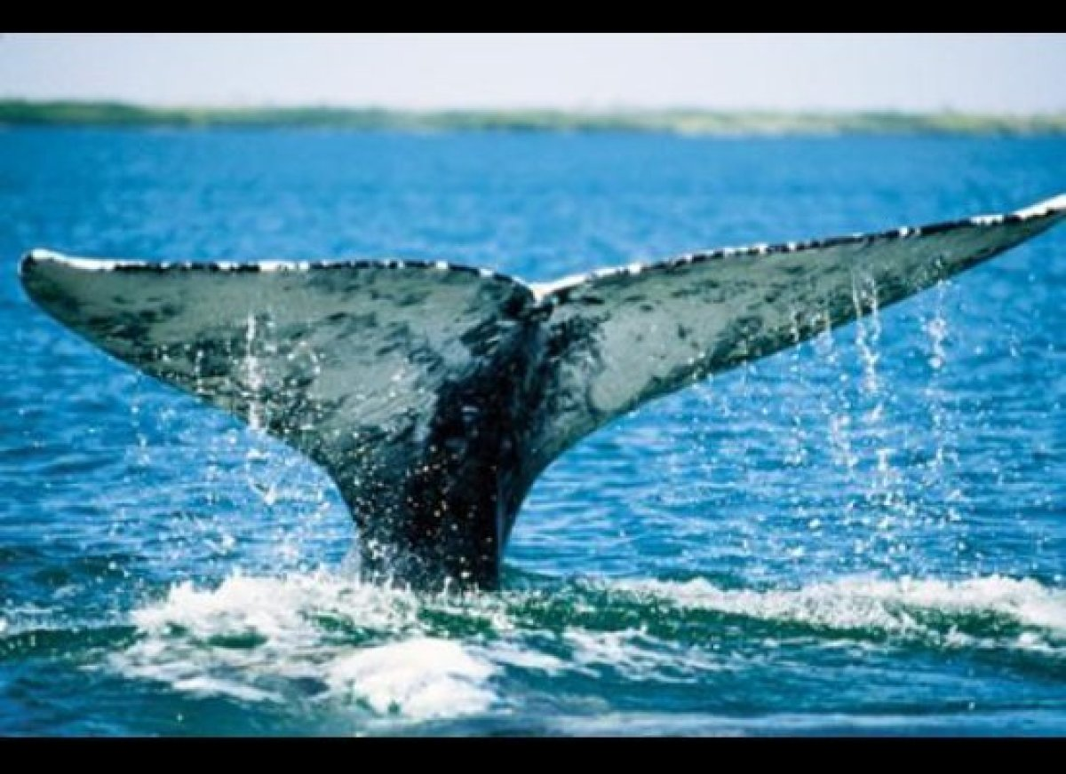 Monterey Bay features incredible whale-watching. (Photo courtesy of Monterey County Convention and VIsitors Bureau)