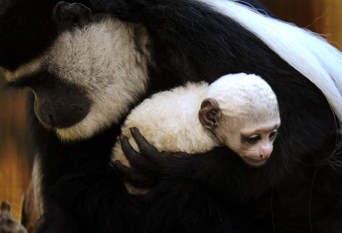 Melbourne Zoo's newest primate baby, a three week-old Colobus monkey, is held in the arms of her mother Clover, in Melbourne