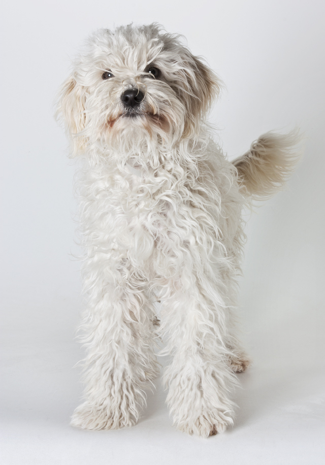 """Ariel is a 1-year-old, female miniature poodle mix. Learn more <a href=""""www.SPCAmc.org."""">here</a>."""