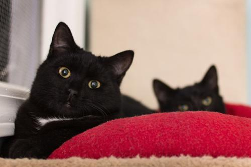 Brandon and Jay are a playful pair of domestic shorthair kittens. Visit Brandon and Jay at the Red Door Animal Shelter, 2410