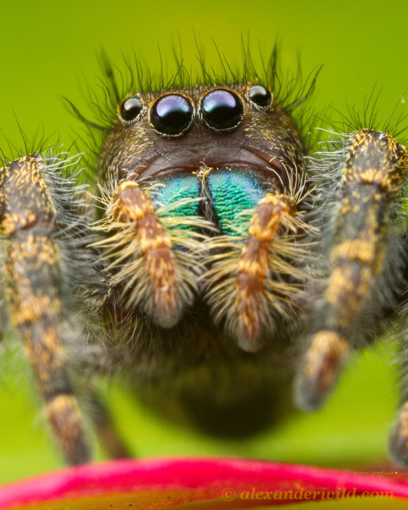 "<em>Phidippus audax</em>, or the common jumping spider. Urbana, Illinois, USA. (<a href=""http://www.alexanderwild.com/"" targe"